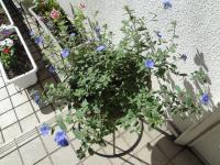 夏の花壇アメリカンブルー(縮小)