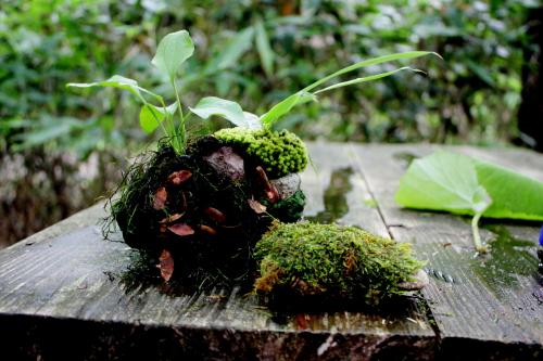 森きち 苔玉