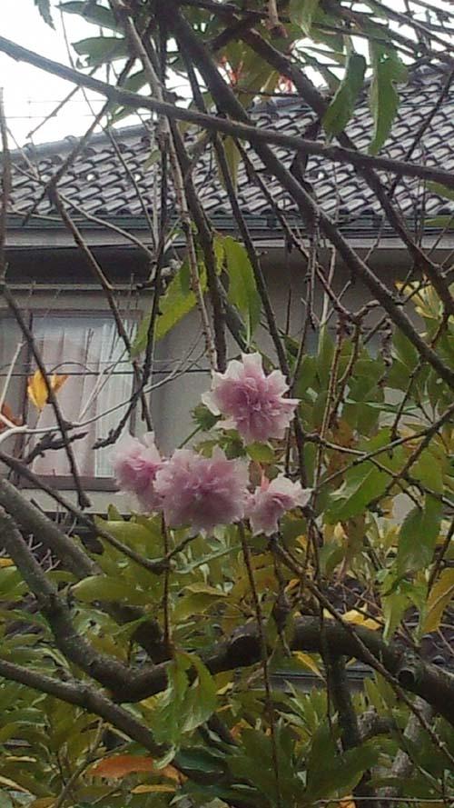 枯れ木の桜