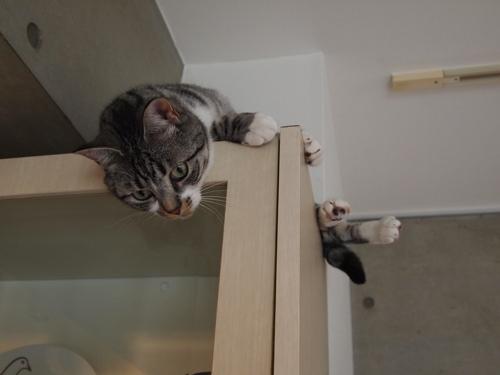 食器棚の上から見下ろすぴー