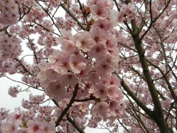 ピンクの桜?