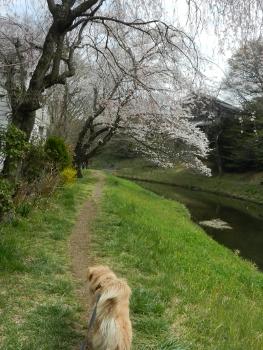 しだれ桜もきれいです