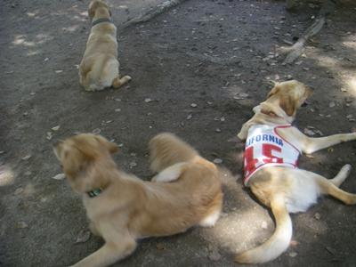 お茶(色)犬3ぴき