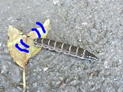 幼虫さん横断中
