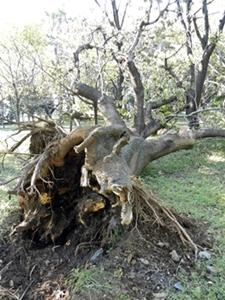 倒れた木(ポプラ?)