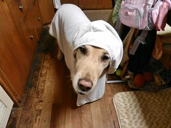 大型犬用着るタオル