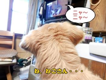 テレビを視聴する犬