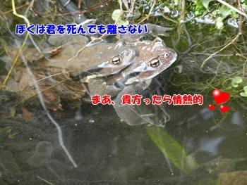熱々のカップルのカエル