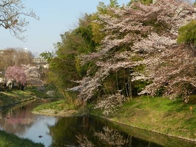 近所の川の桜