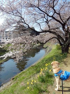 近所の川の桜(水仙も)