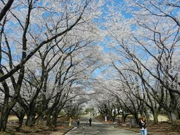 稲荷山公園桜