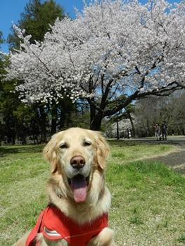 桜、キレイだね