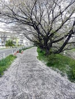 桜の花道(バスケじゃないよ)