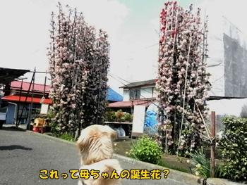 大きなボケの花