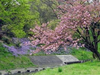 八重桜と紫大根(?)