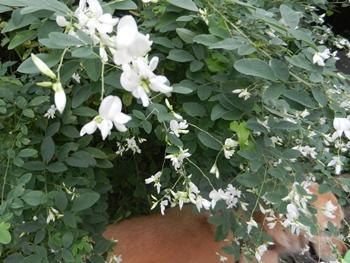 庭の白い萩