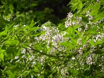 河原の木の花