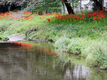 河原のマンジュシャゲ