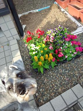 植える前の花達