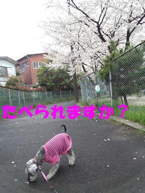2012 ブログ用 802桜くんくん