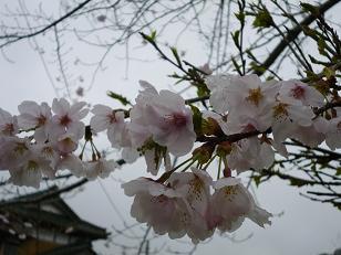 2012 ブログ用 857桜