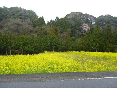 2012 ブログ用 858菜の花