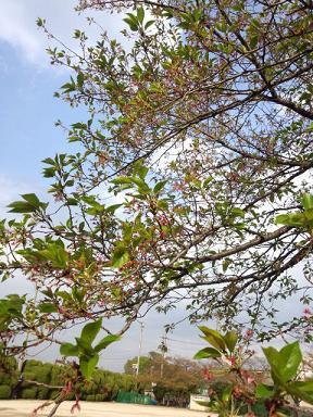 2012 ブログ用 792葉桜2