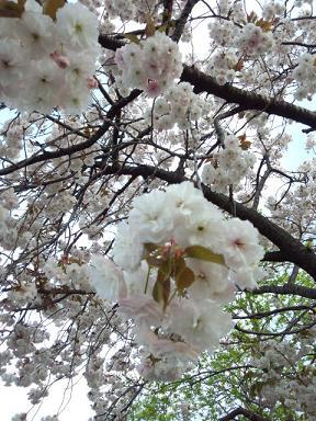 2012 ブログ用 789八重桜