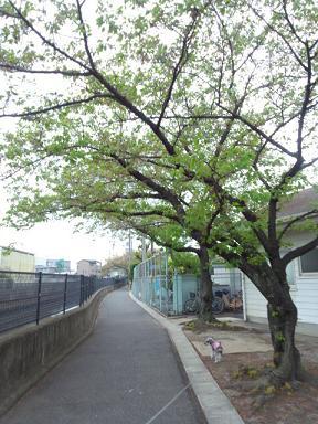 2012 ブログ用 790葉桜1