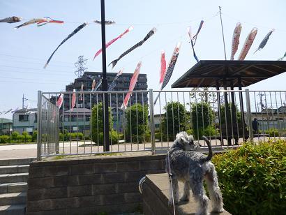 2012 ブログ用 800こいのぼり1
