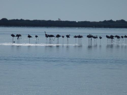 カマルグ野鳥