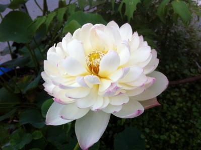 八重咲き酔白蓮花