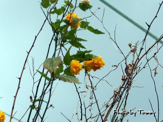八重咲きヤマブキ