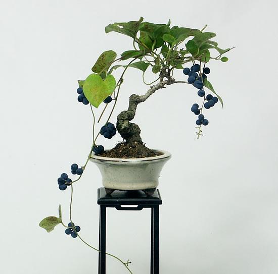 アオツヅラフジ ミニ盆栽