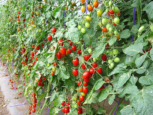 tomatoaiko.jpg