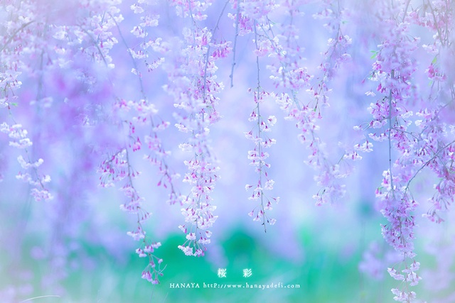 IMG_4718-2桜彩640