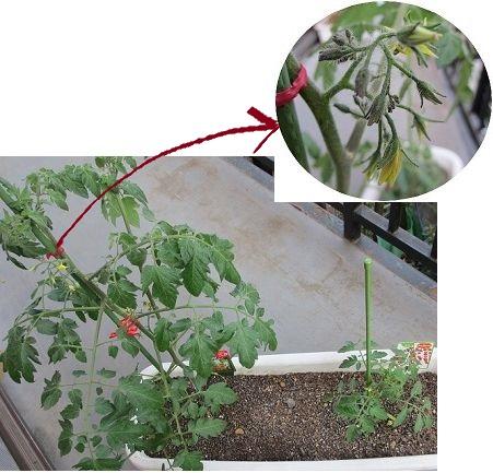 2013年トマト