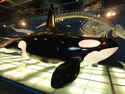 シャチの模型と骨格標本