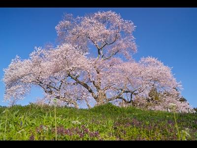 矢祭町 戸津辺の桜