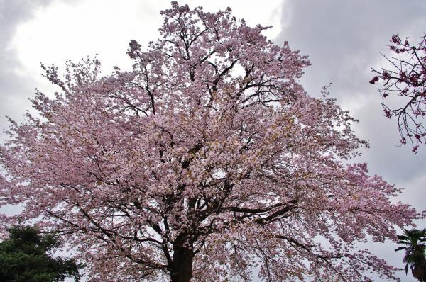 桜2_convert_20120426223019