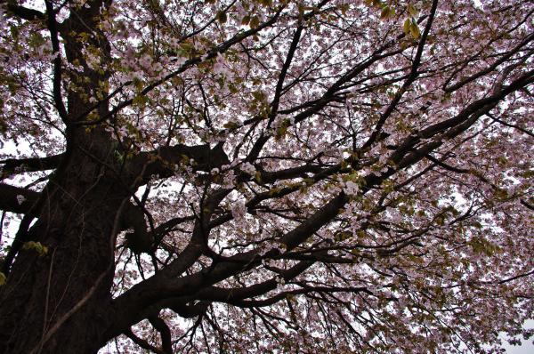 桜3_convert_20120426223044