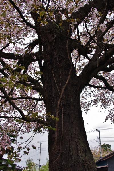 桜4_convert_20120426223104