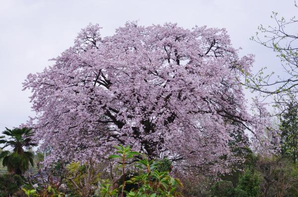 桜1_convert_20120426222945