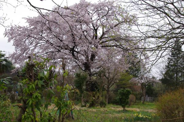 桜6_convert_20120426223145