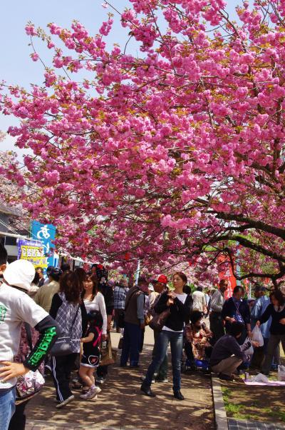 桜2_convert_20120428193109