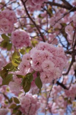 桜1_convert_20120428192800