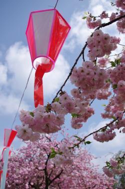 桜と提灯_convert_20120428193024