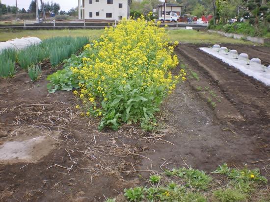 菜の花撤去前_convert_20120430200231