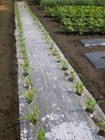 トウモロコシ畑_convert_20120516180033