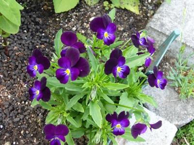 ビオラ・濃紫